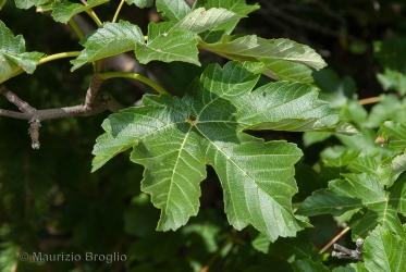 Immagine 1 di 11 - Acer pseudoplatanus L.