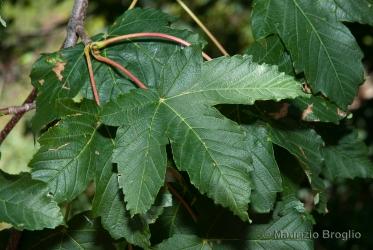 Immagine 2 di 11 - Acer pseudoplatanus L.