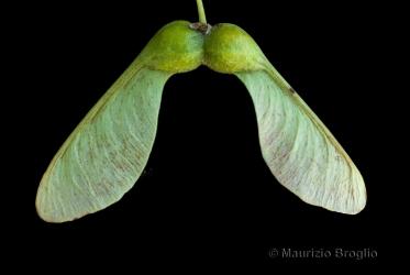 Immagine 4 di 11 - Acer pseudoplatanus L.