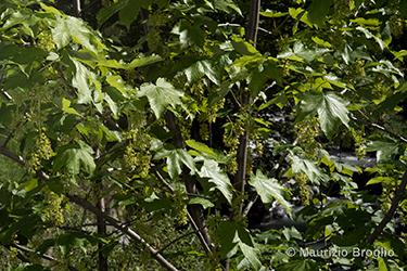 Immagine 5 di 11 - Acer pseudoplatanus L.