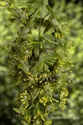 Immagine 6 di 11 - Acer pseudoplatanus L.