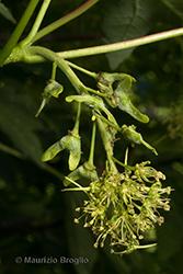 Immagine 7 di 11 - Acer pseudoplatanus L.