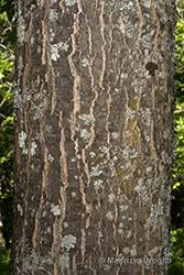 Immagine 8 di 11 - Acer pseudoplatanus L.