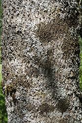 Immagine 9 di 11 - Acer pseudoplatanus L.