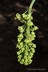 Immagine 10 di 11 - Acer pseudoplatanus L.