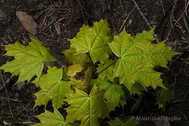 Immagine 4 di 7 - Acer platanoides L.