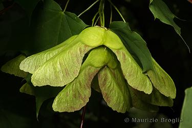 Immagine 5 di 7 - Acer platanoides L.