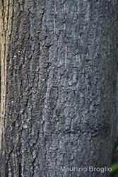 Immagine 7 di 7 - Acer platanoides L.