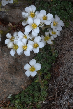 Saxifraga diapensioides Bellardi