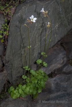 Saxifraga granulata L.