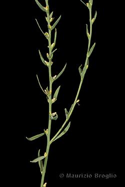Thymelaea passerina (L.) Coss. & Germ.