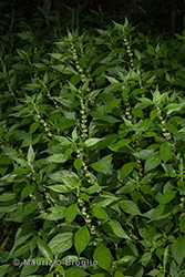 Immagine 6 di 7 - Parietaria officinalis L.