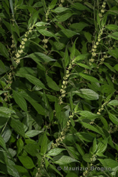 Immagine 7 di 7 - Parietaria officinalis L.