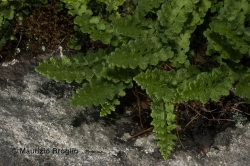 Woodsia alpina (Bolton) Gray
